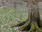 mossy tree roots